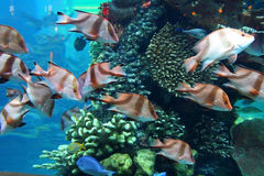 Aquarium. With swimming decorative fishes Royalty Free Stock Photo