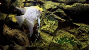 Aquarium. Fish  Angelfish close-up stock footage