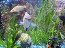 Aquarium. A close-up of colorful tropical fish in an aquarium Royalty Free Stock Image