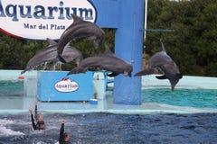 Aquarium 6. Dolphins doing stunts in an aquarium show Royalty Free Stock Photos