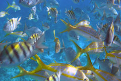 The Aquarium. A school of fish feed off the coast of Belize Royalty Free Stock Photo