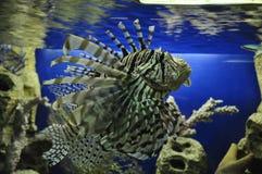 Aquarium in Adler, gestreepte vissen lionfish stock fotografie