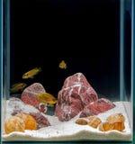 Aquarium. African cichlid swimming in an aquarium on a black background Stock Photos