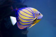 Aquarium angel fish Stock Image