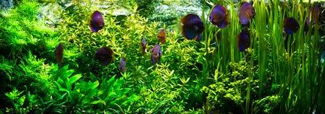 Aquarium avec des poissons de disque Photographie stock libre de droits
