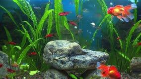 Aquarium avec le poisson rouge banque de vidéos