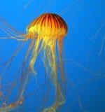 Aquarium avec les méduses jaunes images libres de droits