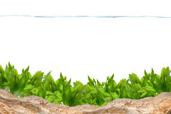 Aquarium background. Water plant and rock Stock Photo