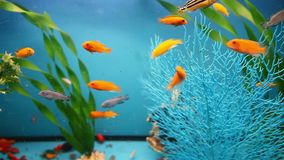 Aquarium background blue calm fish swim grass. Aquarium  background blue calm fish swim grass video saver stock video footage