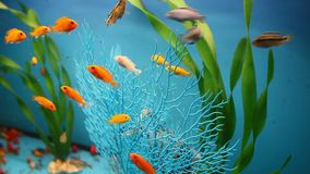 Aquarium background calm blue fish swim grass. Aquarium  background calm blue fish swim grass video saver stock video footage