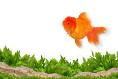 Aquarium background and gold fish. Water plants and rocks royalty free stock image