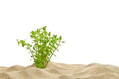 Aquarium background and plant. Aquarium background. Sand and underwater plant Royalty Free Stock Photography