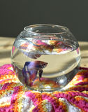 Aquarium with betta fish Stock Images