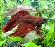 Aquarium Betta Splendens Mail Stock Images