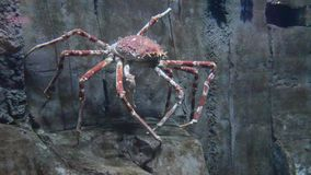 Aquarium with big red spider crab stock video footage