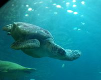 Aquarium. Big turtle swimming with shark Stock Images