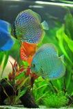Aquarium - blauwe tropische discusvissen Stock Afbeeldingen