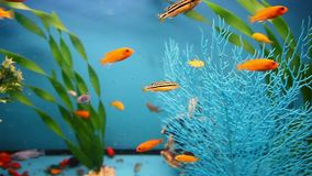 Aquarium blue background  calm fish swim grass. Aquarium blue  background calm fish swim grass video saver stock video footage