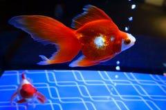 Aquarium with bright red fishes stock images