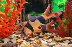 Aquarium catfish Royalty Free Stock Image