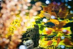 Aquarium cichlid exotic fish. flock of sea yellow orange fish swimming in aquarium Stock Photo
