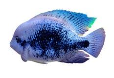 Aquarium cichlid fish. cichlid aquarium fish isolated on white b Stock Image