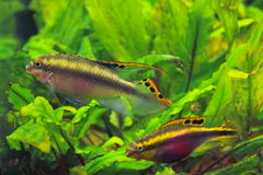 Aquarium cichlid fish royalty free stock photos