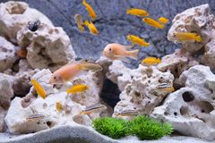 Aquarium with cichlids fish Stock Photography