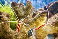 Aquarium. Cleaner shrimp in an aquarium royalty free stock photography