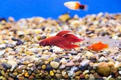 Aquarium cockerel fish Royalty Free Stock Photo