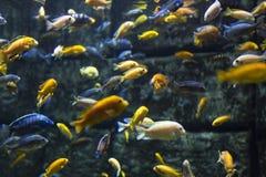 Aquarium colourfull fischt im dunklen tiefen blauen Wasser Selektiver Fokus stockfotos