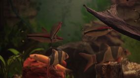 Aquarium colourfull fishes in dark deep blue water. aquarium fish. Zebra loach catfish Botia striata aquarium fish. Fish. In aquarium- sea life HD stock video footage
