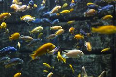 Aquarium colourfull fishes in dark deep blue water. Selective focus.