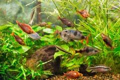 Aquarium colourfull vissen en waterplanten Stock Foto's
