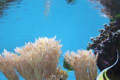 Aquarium. Coral in blue water, aquarium Stock Images