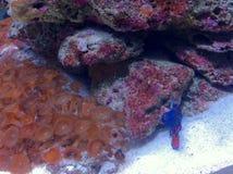 aquarium d'eau de mer avec les invertébrés et la mandarine images libres de droits
