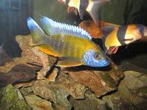 Aquarium d'eau douce avec Chichlids Image libre de droits