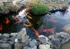 Aquarium de carpe images stock