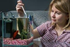 Aquarium de nettoyage de jeune femme avec de bêtas poissons à la maison images libres de droits