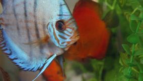 Aquarium with Discus Royalty Free Stock Photography