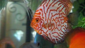 Aquarium with Discus Stock Photos