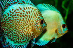 Aquarium with Discus Royalty Free Stock Images