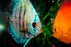 Aquarium with Discus Stock Photos