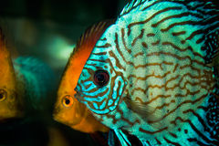 Aquarium with Discus Stock Photography