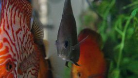 Aquarium with Discus Royalty Free Stock Photo