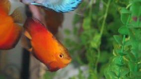 Aquarium with Discus Royalty Free Stock Image