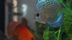 Aquarium with Discus Stock Photo