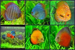 Aquarium - discus fish varieties collage Stock Images