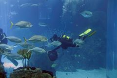 Aquarium divers during maintenance. Biologist aquarium divers during daily maintenance stock image