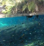 Aquarium. Ducks over fishes Stock Photo